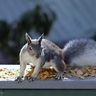 Arizona Gray Squirrel - Sciurus arizonensis by Jazzy724