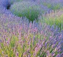 Lavender Field by BootsandTea
