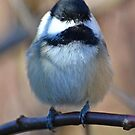 Chickadee3 by William Brennan