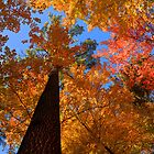 Fall Colors, Hartwick Pines State Park, Michigan, USA by DArthurBrown