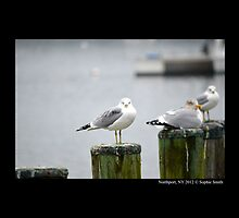 Larus Delawarensis - Ring-Billed Gulls At Northport Harbor by © Sophie W. Smith