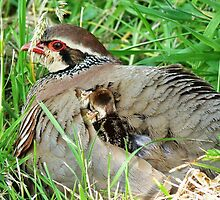 Mother Partridge Protecting Her Young by Jason Christopher