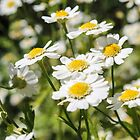 Daisies by LizSB
