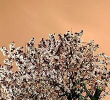 Cherry Blossoms by Daniel House