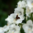 Butterfly On White Flower by Drewlar