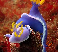 Underwater World - Nudibranch by Marjan Visser | Photography