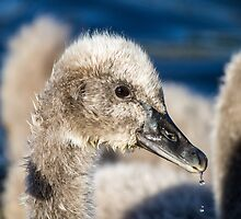 Black Swan Cygnet, QLD, Australia by LizSB