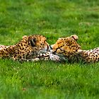 Kissing Cheetahs by Rustyoldtown