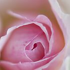 Macro of a rose by nikavero