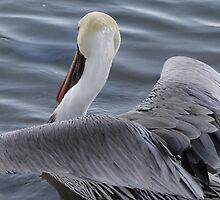 Pelican's Elegance - Elegancia Del Pelicano by Bernhard Matejka