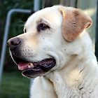 Golden Labrador Retriever by Johnny Furlotte