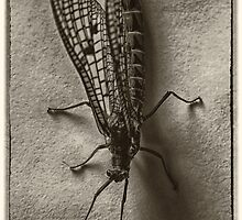 mayfly by clayton  jordan