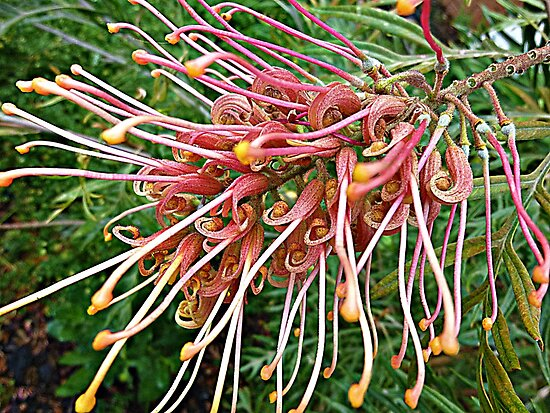 Grevillea in my garden by EdsMum