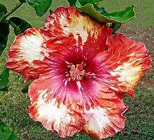 "Hibiscus, ""Work of Art"" by Margaret  Hyde"