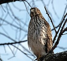 Sharp-Shinned Hawk 2 by Thomas Young