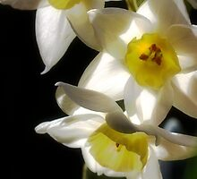 Daffodils delight by Don Stott