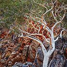 Ghost gum in Red Bank Gorge by eSWAGMAN