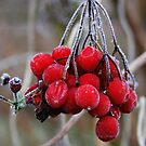 Red Ice Berries by Jo Nijenhuis