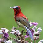 Crimson Sunbird by Taylorize
