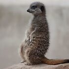 Meerkat by mps2000