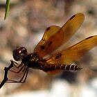 Baby Dragonfly by sunsetrainbow