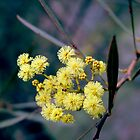 Wattle Blossom by Frederick James Norman