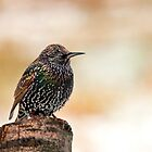Starling by Margaret S Sweeny