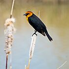 Red-Winged Black Bird by utahwildscapes