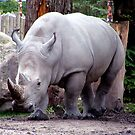 Rhinoceros  by Johnny Furlotte