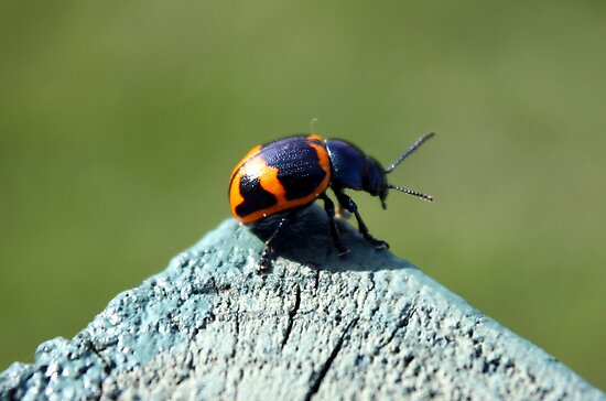 Lady Bug by Johnny Furlotte