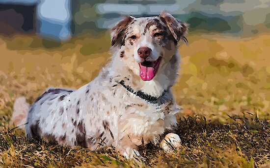 Australian Shepherd by Adam Asar