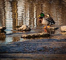 A Fine Pair Of Mallards  by Thomas Young