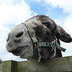 Donkey by LKPhoto