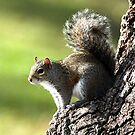 GREY SQUIRREL by TomBaumker