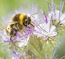 Summer Bee by Robyn Carter