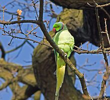 Ring-necked Parakeet by Sue Robinson