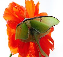 Luna Moth poppy high key by Randy & Kay Branham