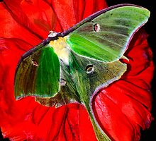 Luna Moth poppy flower by Randy & Kay Branham