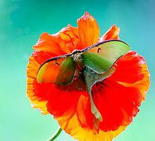 Luna Moth Orange Poppy  Flower by Randy & Kay Branham