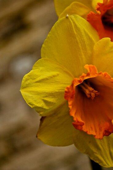 Daffodils by Sadie Hughes
