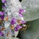 A bee collecting its morning feed by wilsonsz