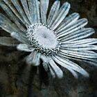 Aster on Rock-iPad by onyonet photo studios