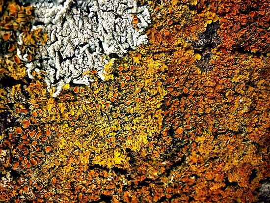 Lichen by Frederick James Norman