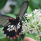 Butterfly in Vietnam by Julie Sherlock