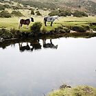 Wild Ponies at Bellever Forest, Postbridge, Dartmoor by Lawrence Dyer
