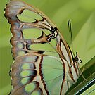 Butterfly from costa rica by jimmy hoffman