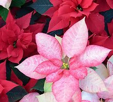 Christmas Poinsettia by Kathleen Struckle