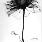 Rose Xray by Teca Burq