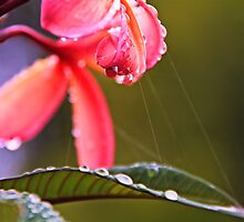 Frangipani In the Rain .... by Nickie