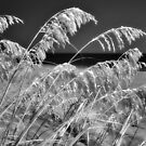 Outer Banks Sea Oats in Black and White by Dan Carmichael